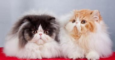 Persijska mačka